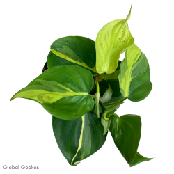 Philodendron scandens (Brasil)