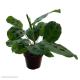 Maranta leuconeura (Prayer Plant) M