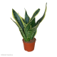 Sansevieria sp (Mother-In-Law's Tongue) Medium