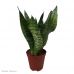 Sansevieria sp (Mother-In-Law's Tongue) Large