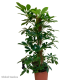 Schefflera Compacta (Umbrella Tree) - 70cm Moss Pole