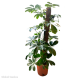 Schefflera Compacta (Umbrella Tree) - 70cm Moss Pole