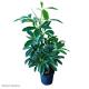 Schefflera Moonlight (Dwarf Umbrella Tree) s