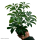 Schefflera Arboricola (Dwarf Umbrella Tree) S
