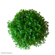Selaginella apoda (Meadow Spikemoss)