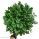Selaginella martensii 'Jori' (Martens Clubmoss) M