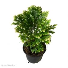 Selaginella martensii 'Jori' (Martens Clubmoss)