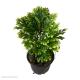 Selaginella martensii 'Jori' (Martens Clubmoss) S