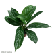 Aglaonema Stripe (Chinese Evergreen)