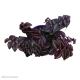 Tradescantia Zebrina (Purple Passion)