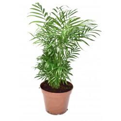 Chamaedorea elegans (Parlour Palm) - Large