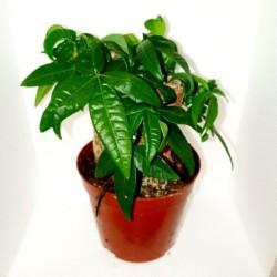 Pachira aquatica (Malabar Chestnut)