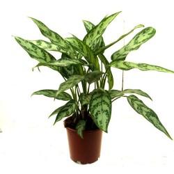 Aglaonema Maria (Chinese Evergreen)
