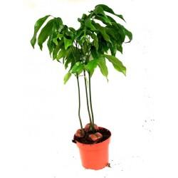 Castanospermum australe (Moreton Bay Chestnut)