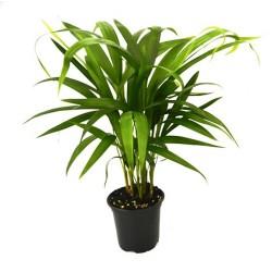 Dypsis lutescens (Areca Palm)