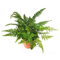 Athyrium spicatum (Lady Fern)
