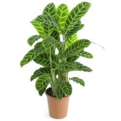 Calathea sp. (Zebra Plant) - Large (25cm)