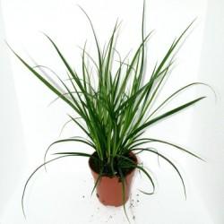 Carex brunnea (Sedge)