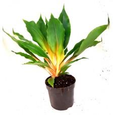 Chlorophytum orchidastrum 'Fire Flash' (Sierre Leone Spider Lily)