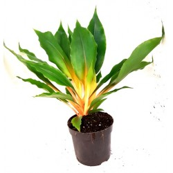 Chlorophytum orchidastrum 'Orange Green' (Sierre Leone Spider Lily)