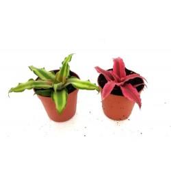 Cryptanthus sp.