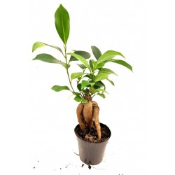 Ficus retusa 'Ginseng' (Ginseng Bonsai Fig)