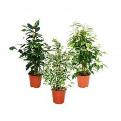 Ficus benjamina (Weeping Fig) - M (25-30cm)