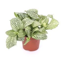 Fittonia albivenis (Mosaic Plant) S