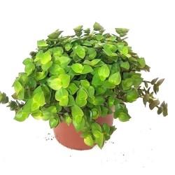 Callisia repens (Creeping Inch Plant) - Edible