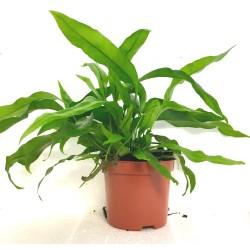 Microsorum diversifolium (Kangaroo Fern)