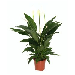 Spathiphyllum sp. (Peace Lily) - Small
