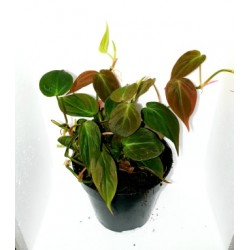 "Philodendron s. ""micans"" (Bronze Velvet Vine)"