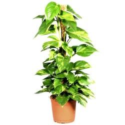 Epipremnum aureum (Devil's Ivy) - Large (40-50cm Tall)