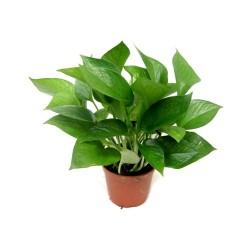 Epipremnum aureum (Devil's Ivy) - Medium