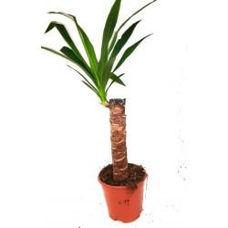 Yucca gigantea (Spineless Yucca)