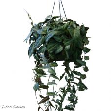 Jungle Vine (Parthenocissus Amazonica)